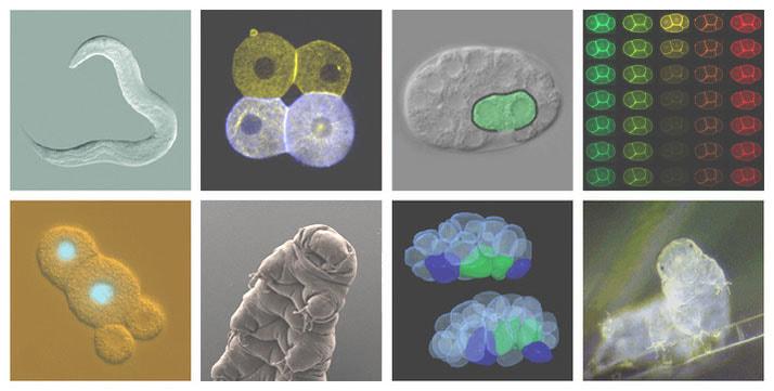 C. elegans and tardigrades